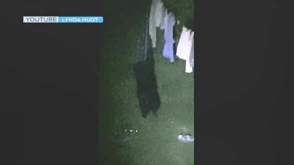 Timmins black bear obsessed with woman's laundry