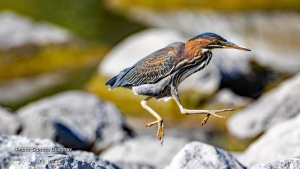 A Green Heron happily skipping boulders to its next fishing perch. (Sandra Dashney/CTV Viewer)