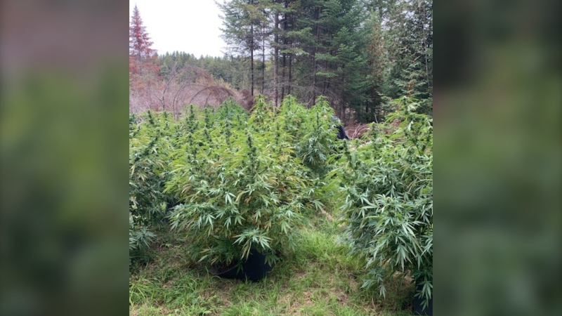 New Brunswick RCMP have seized and destroyed 400 cannabis plants plants following the discovery of an illegal growing operation in Southhampton, N.B., near Nackawic.