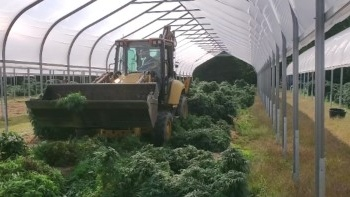 An illegal cannabis operation in Norfolk County. (Source: OPP)