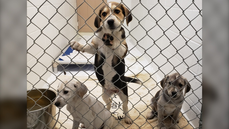 Three of the puppies seized by the BC SPCA from a property in Princeton, B.C., are seen in this handout image from the animal welfare agency.
