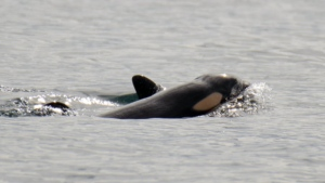 The new calf was born Thursday, Sept. 24, 2020, near Victoria. (Pacific Whale Watch Association/Center for Whale Research)