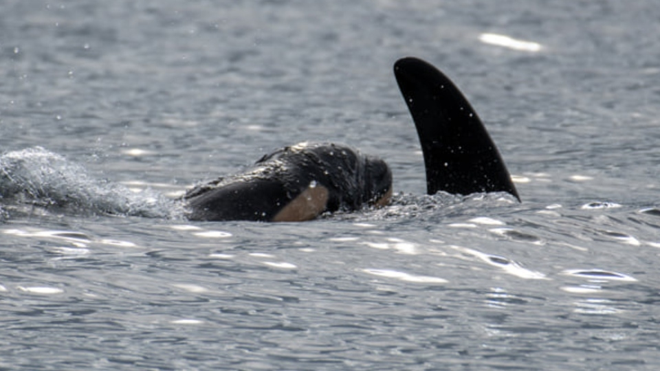 The new calf was born Thursday, Sept. 24, 2020, near Victoria (Pacific Whale Watch Association/Center for Whale Research)
