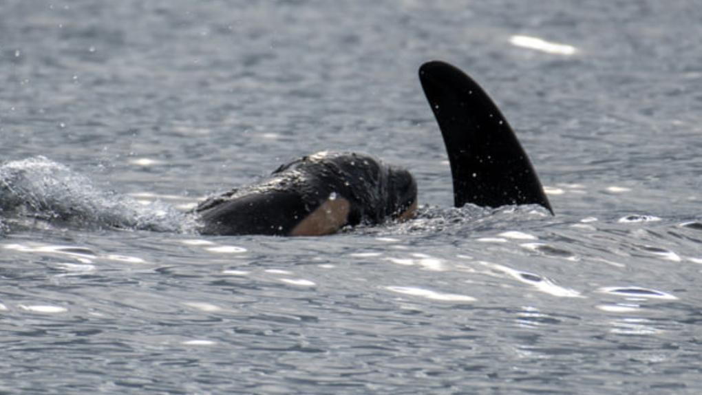 New orca