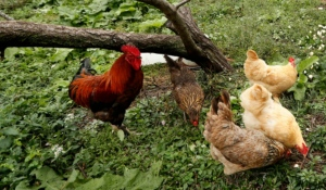 Some residents in North Bay are hoping to change a current bylaw that says resident can't keep chickens in their backyard. (File)