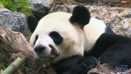 Bamboo supply for pandas gets a boost