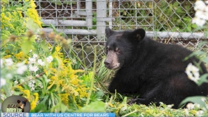 Founder of Bear With Us Centre for Bears, Mike McIntosh says, 'Tuffy' is blind in both eyes because of the bullet, but he's hoping that will change in a month or two if the brain can heal itself. (Supplied photo)