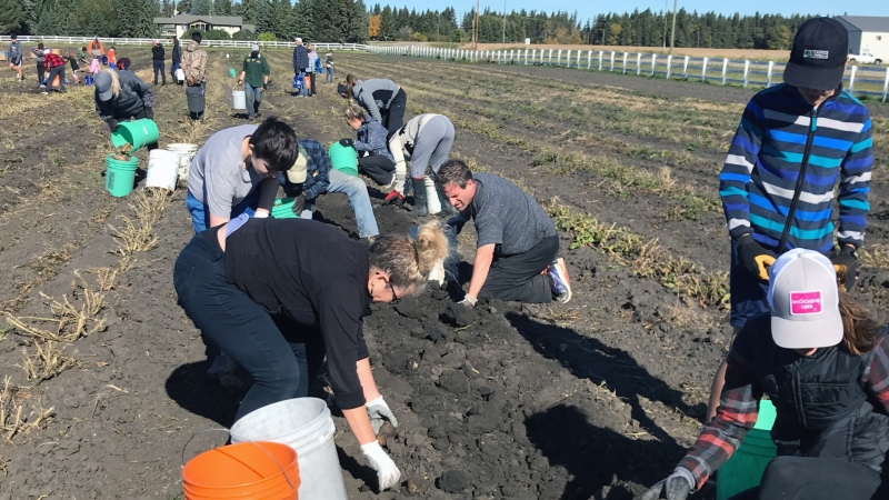 Nearly 100,000 pounds of potatoes will be donated to Edmontonians in need from this harvest. (Galen McDougall/CTV News Edmonton)