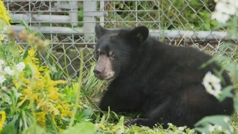 MNRF investigates shootings of two bear cubs