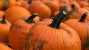 Pumpkins at a pumpkin patch are seen in this photo, taken September 26, 2020. (Stefanie Davis/CTV News)