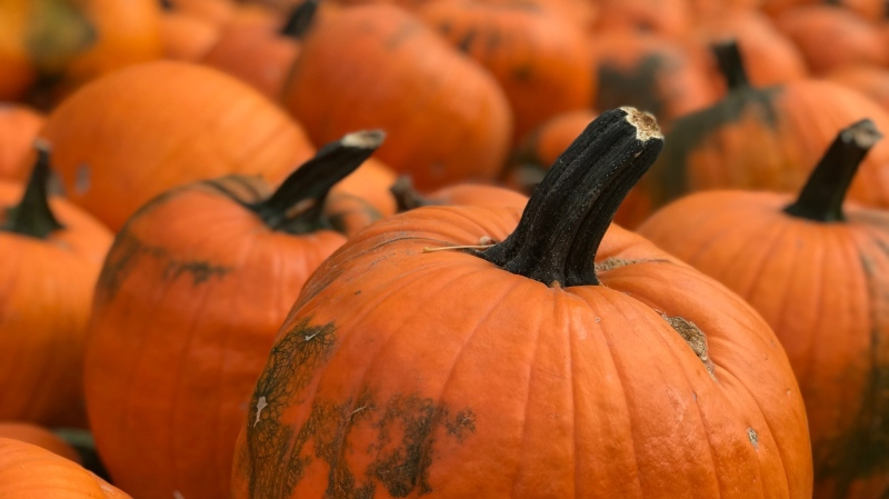 Pumpkins at a pumpkin patch are seen in this photo, taken September 26, 2020. (Stefanie Davis/CTV News)