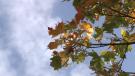 Ottawa autumn fall sky maple leaf colours