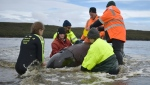 Rescuers working to save a whale beached in Macquarie Harbour on the rugged west coast of Tasmania. (AFP)
