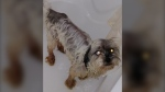 Murphy the 6-year-old Shih Tzu survived a highway accident and seven weeks alone in the wild. (Provided)