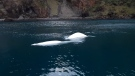 Two rescued beluga whales that were relocated from China to Iceland took their first swim in their new open water sanctuary.