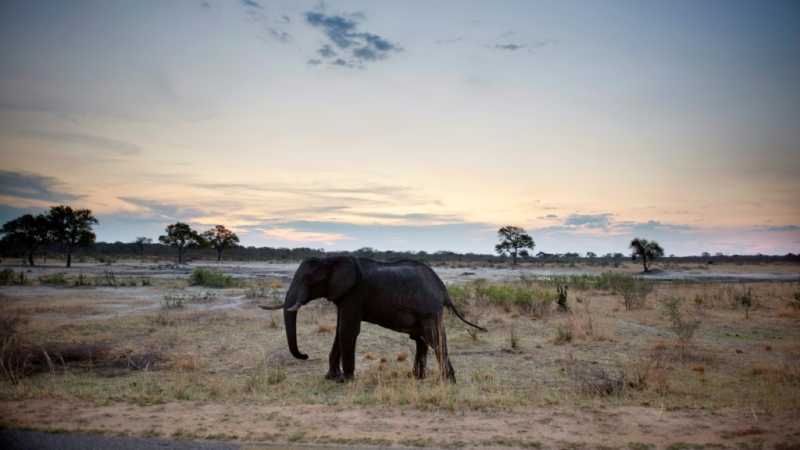 Zimbabwe's elephants are believed to be suffering from a bacterial infection, which has killed at least 34 so far. (AFP)