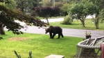 Grizzly spotted walking across a yard in Brackendale, B.C. on Sept. 27, 2020. (Jeremy Pope photo)