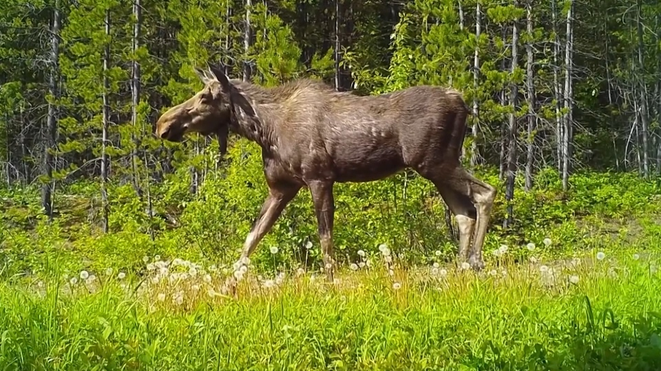 B.C. moose