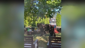 Grizzly captured after roaming residential area