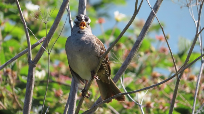 A male white-crowned sparrow sings to protect his territory and attract mates in San Francisco. (AFP)