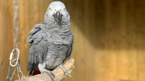 Elsie, one of the potty-mouthed parrots. (Lincolnshire Wildlife Park)