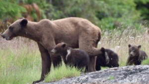 Members of the Mamalilikulla First Nation say they are concerned that grizzly bears along B.C.'s coast are becoming malnourished due to declining salmon returns: (Mamalilikulla First Nation)