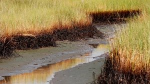 In this Saturday, July 31, 2010, file photo, a ribbon of oil lines the bottom stalks of marsh grass at low tide in a cove in Barataria Bay on the coast of Louisiana. (AP Photo/Patrick Semansky, File)