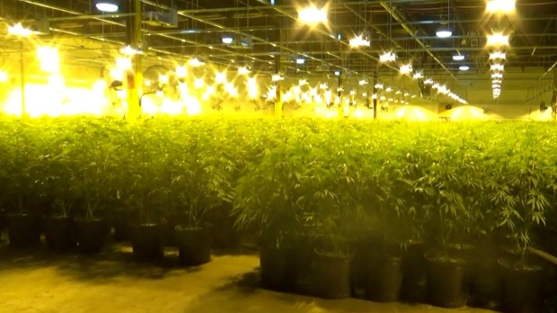 The OPP says it seized 10,000 cannbis plants from a factory on Highway 12 in Midland, Ont., on Mon., Sept. 28, 2020. (Supplied)