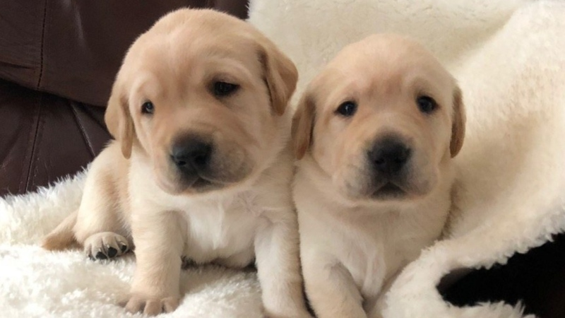 Guide dog puppies in training-- Bonnie and Henry-- are seen in this handout image from BC and Alberta Guide Dogs.