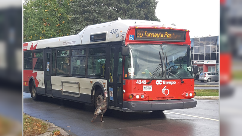 An OC Transpo bus slows down to pass a wild turkey in Ottawa's south-end on Wednesday. (Bonnie Taylor/CTV Ottawa viewer)