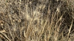 Foxtail is a nuisance weed that can cause serious harm and death to pets.