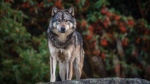 Cheryl Alexander, a conservation photographer and the book's author, studied and documented the wolf for six years. (Cheryl Alexander)