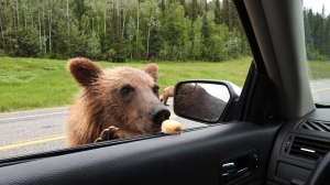 The BC Conservation Officer Service says it is investigating after a man - who had previously been charged and fined for feeding Timbits to bears - was allegedly feeding bears once again: (Facebook)