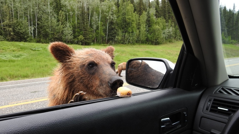 The BC Conservation Officer Service is investigating after a man, who had previously been fined for feeding Timbits to bears, posted images of himself allegedly feeding bears again. (Facebook)