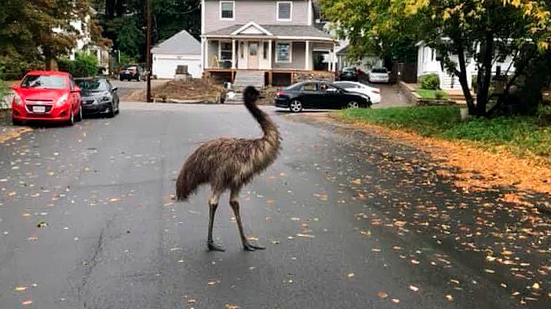 In this photo released by the Haverhill Police Department, an emu walks on a neighborhood street on Wednesday, Sept. 30, 2020, in Haverhill, Mass. (Michelle Cannon/Haverhill Police Department via AP)