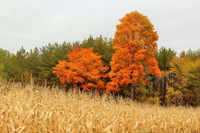 Vibrant orange leaves of maple trees contrast with the paleness of the ripened corn.  (Dianne Helmer/CTV Viewer)