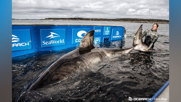 Great white shark described as 'queen of the ocean' found off N.S. coast