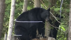 Anyone who sees a bear in the Saanich area is asked to call Saanich police or conservation officers. (File photo)