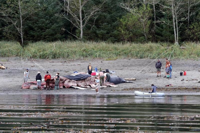 Researchers are seen performing a necropsy on the whale carcass in Washington state on Oct. 4, 2020: (Kiirsten Flynn, Cascadia Research)