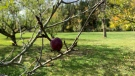 A crabapple at Appleflats (Shannon Bradbury / CTV News Kitchener)
