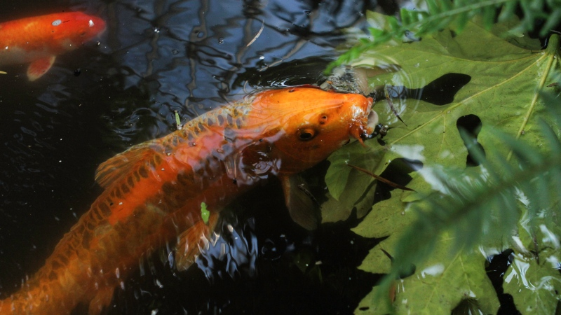 "The 34 year-old koi known as ""Dragon Gate"" still bears the marks from an encounter with a river otter, according to Vancouver Park Board chair Camil Dumont."