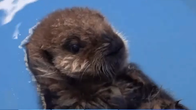 Joey the Otter at Vancouver Aquarium in Oct. 2020.