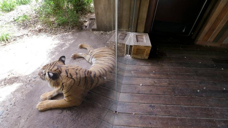 A Malayan tiger leans up against a glass partition, empty of visitors behind, at the Woodland Park Zoo, Tuesday, May 26, 2020, in Seattle. (AP Photo/Elaine Thompson)
