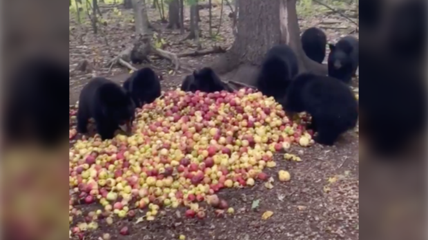 Buzzing black bears: Cubs express 'sound of contentment' as they devour apples