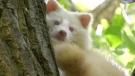 Albino racoon in south Windsor, Ont., on Oct. 13, 2020. (Rich Garton / CTV Windsor)