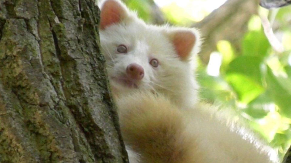 Albino racoon in south Windsor, Ont., on Oct. 13, 2020. (Rich Garton / CTV Windsor)