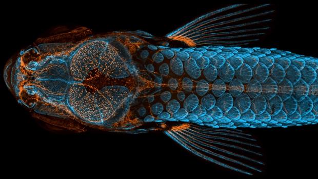 First place: Dorsal view of bones and scales (blue) and lymphatic vessels (orange) in a juvenile zebrafish by Daniel Castranova, Dr. Brant Weinstein & Bakary Samasa. (Courtesy of Nikon Small World)