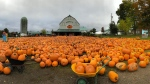 Downey's Farm in Caledon, Ont. is closing down its front lawn pumpkin patch for the first time in 30 years due to the COVID-19 pandemic. (Downey's Farm/Facebook)