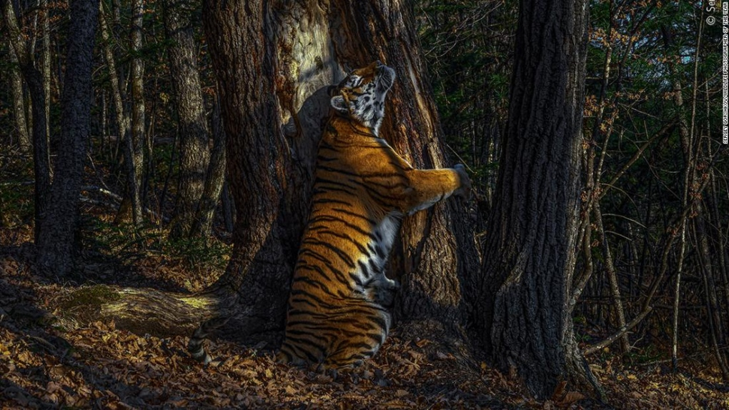 'Unique' picture of tigress hugging tree wins Wildlife Photographer of the Year