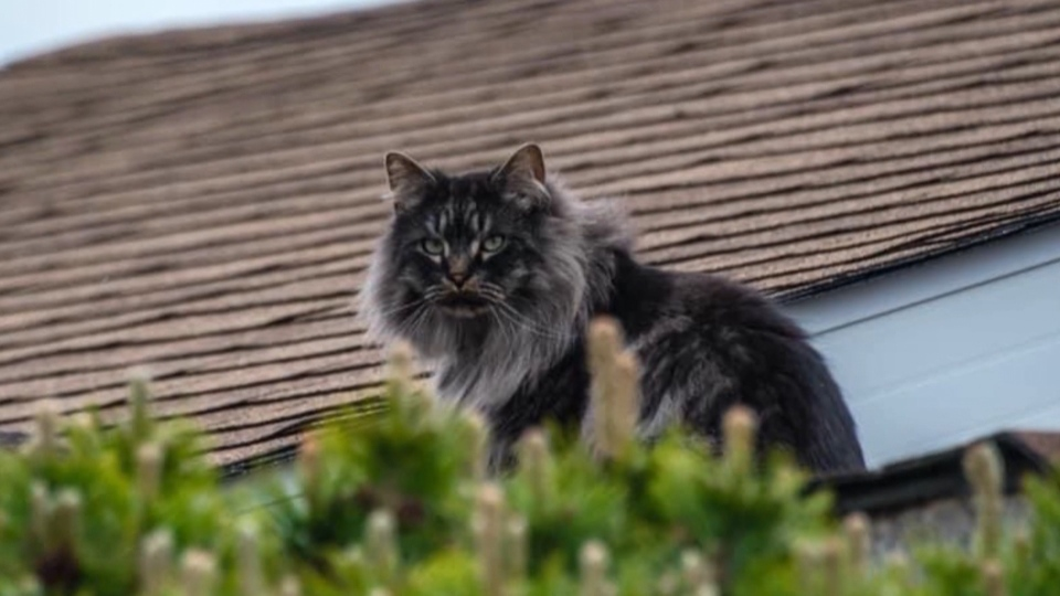 Sharin Engler's cat Howard. Howard was killed in a snare in a northeast Edmonton neighbourhood. (source: Sharin Engler)